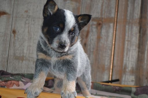 Australian Cattle Dog Puppy For Sale In Honey Brook Pa Adn 71154