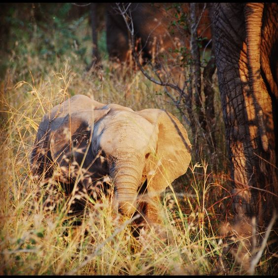 Baby Elephant- Taken by me while visiting the Sabi Sands region of Kruger Park, SA  #baby #calf #elephant #cute #travel #africa