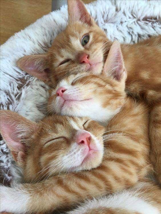 orange tabby trio