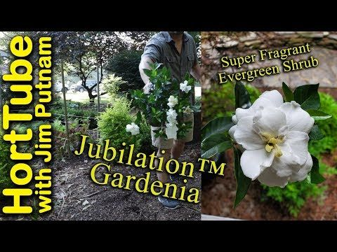 Garden Beauties Jubilation And Scentamazing Gardenias Are High On