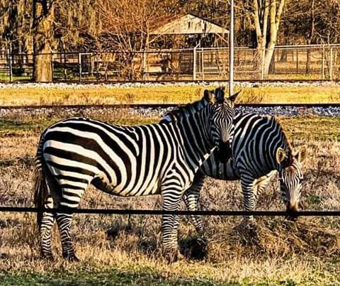 Pin By Vera Waldon On Louisiana Purchase Gardens And Zoo In 2020 Louisiana Purchase Zebra Zoo
