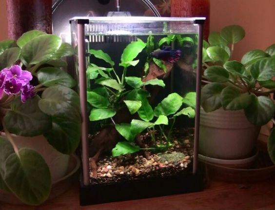 Betta tank set ups how to set up a beautiful betta fish for Live plants for betta fish