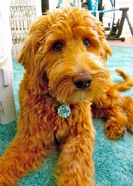 beautiful eyes goldendoodle