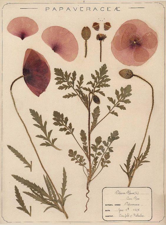 Herbarium specimen of common poppy, Papaver rhoeas, collected 1895 by Frances Giles, a pharmacist, near Folkestone, Kent. Image: Royal Botanical Garden, Kew.