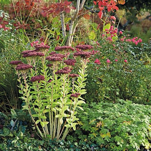 Tall sedum this easy care perennial shines in fall but for No maintenance flowering shrubs