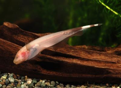 Brown Ghost Knife Fish Albino black ghost knifefish - apteronotus ...