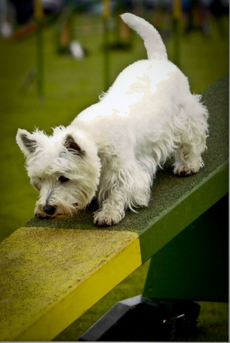 Westie doing dog agility on see-saw