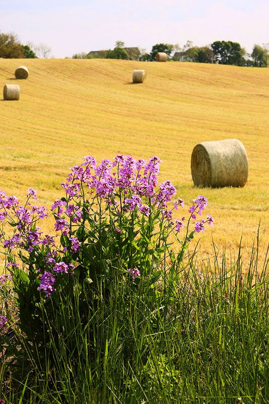 Round Hay Bales & purple flowers... Beautiful!  So glad I live in the country!! #Hay