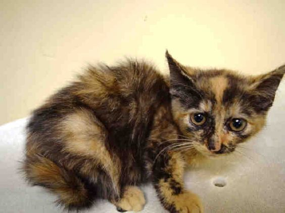 CELESTIA - A1079065 - - Staten Island  Please Share:   ***TO BE DESTROYED 07/02/16***Tiny adorable 9 week old female kitten desperately seeking a home! CELESTIA has the biggest eyes ever! This little cutie was brought into the shelter as a stray. Since she's under 2 pounds, she's available only through New Hope Rescue. If you would like to foster or adopt this sweetheart, please contact helpcats@urgentpodr.org and save CELESTIA from being killed tomorrow at the shelter!