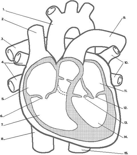 Circulatory System Worksheet Without Labels Google