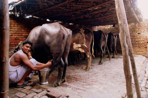 ALIGARAH, India - The ancient dairy.
