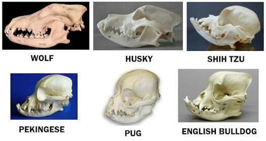 To The Person Who Posted The Deformed Pug Skull Dog Skull