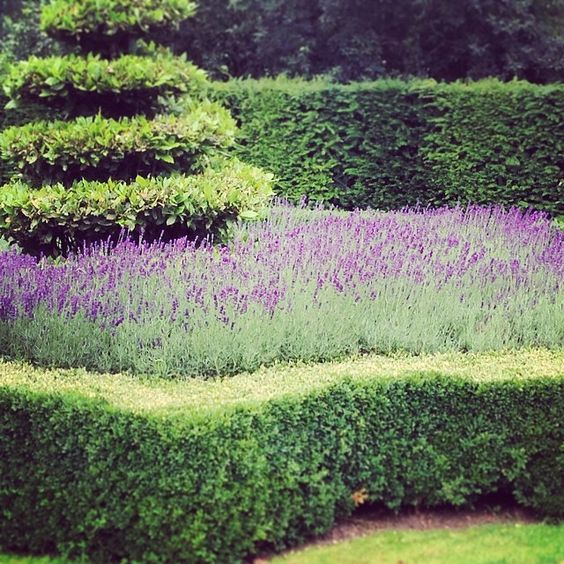 #lavender in a sea of luscious green. It never fails to delight.