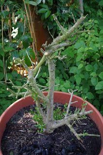 Mr. Greens Welt: Olivenbaum erholt sich rasant