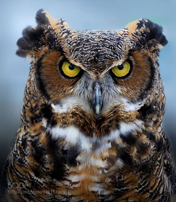 Great Horned Owl by bmasters1. Please Like http://fb.me/go4photos and Follow @go4fotos Thank You. :-)