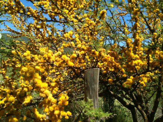 Acacia caven en flor