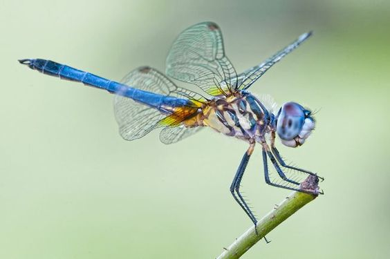 In form and name, the blue dasher dragonfly illustrates the beauty and flying prowess of these insects.