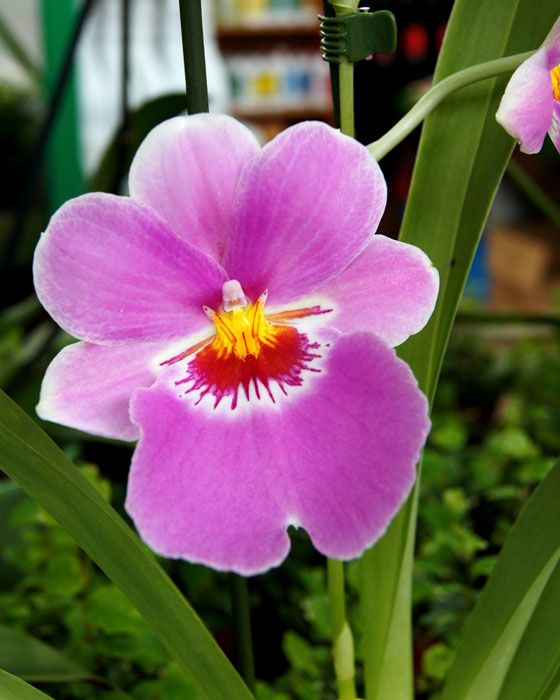 miltonia orchid care instructions