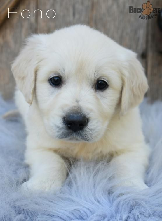 Echo Golden Retriever English Cream Puppy For Sale In Fresno