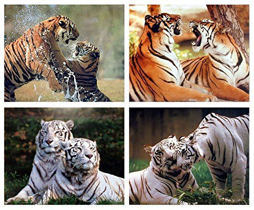 FIGHTING BENGAL TIGER CANVAS PRINT PICTURE WALL ART VARIETY OF SIZES