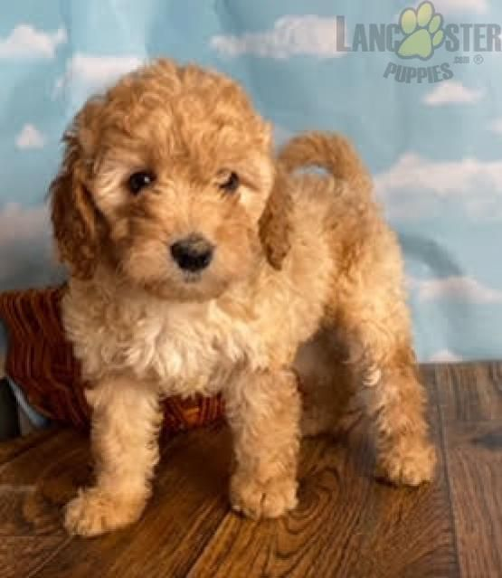 Daphne Mini Goldendoodle Puppy For Sale In East Sparta Oh Lancaster Puppies Mini Goldendoodle Puppies Lancaster Puppies Goldendoodle Puppy For Sale