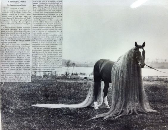 """In the case of ''Linus I"" the mane was 18 feet long and the tail 21 feet. The parents and grandparents of these horses also had unusually long hair, which increased in successive generations. The data are insufficient to show the relation of dominance and recessiveness in this case, but the persistence of the long hair seems to indicate its dominance."""