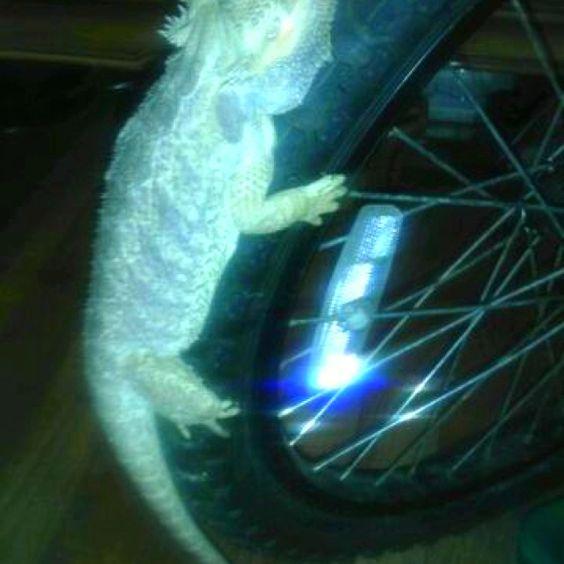 Glowing dragon on bicycle wheel #PETS #Lizards #dragons #NYC