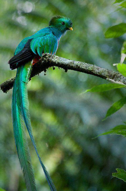 resplendent-quetzal-4