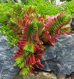 Succulent Plant Crassula Corymbulosa:
