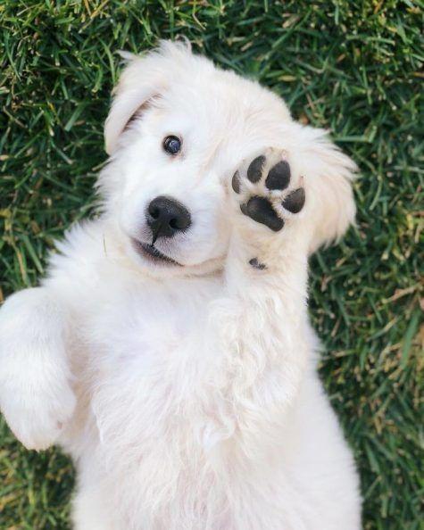 English Cream Golden Retriever Puppy Cute Baby Animals