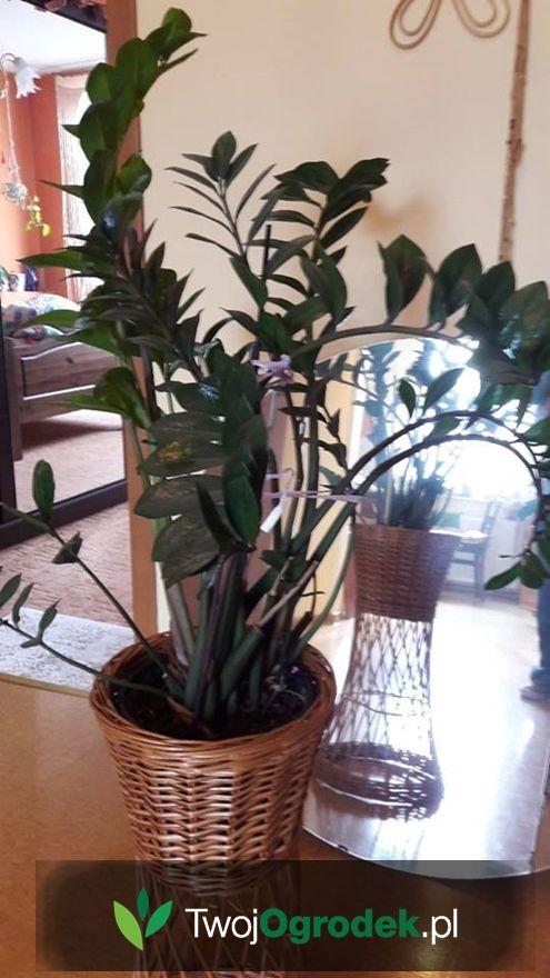 Piekny Zamiokulkas Plants House Plants