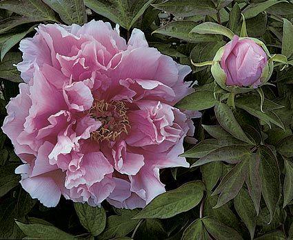 Paeonia suffruticosa Kamata Fuji - White Flower Farm