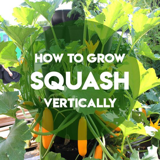 How To Grow Squash And Zucchini Vertically Greenstalk Vertical Garden Growing Squash Growing Zucchini Zucchini Plants