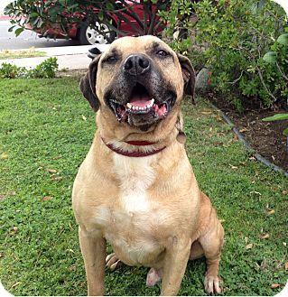 Canoga Park, CA - Staffordshire Bull Terrier/Labrador Retriever Mix. Meet Bogie, a dog for adoption. http://www.adoptapet.com/pet/3823497-canoga-park-california-staffordshire-bull-terrier-mix