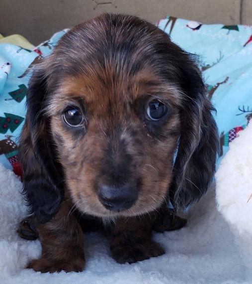 Chappie Dachshund Puppy 580471 Puppyspot Dachshund Puppies Dachshund Puppies For Sale Dachshund Puppy Black
