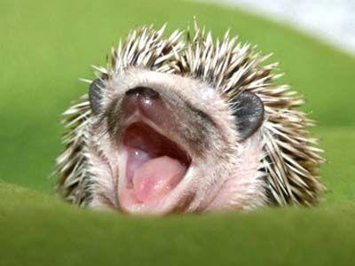 Hedgehog! Hedgehog! Hedgehog! I want one :):
