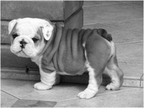 Baby English bulldog!!!!!<3<3