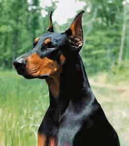 Doberman Pinscher is muscular and possesses great endurance and speed. Its intelligence and ability to absorb and retain training have brought them into demand as a police and war dog. Great ranch dogs along of the Mexican border since the illegal run across the property and don't litter since they don't want to be tracked by them.