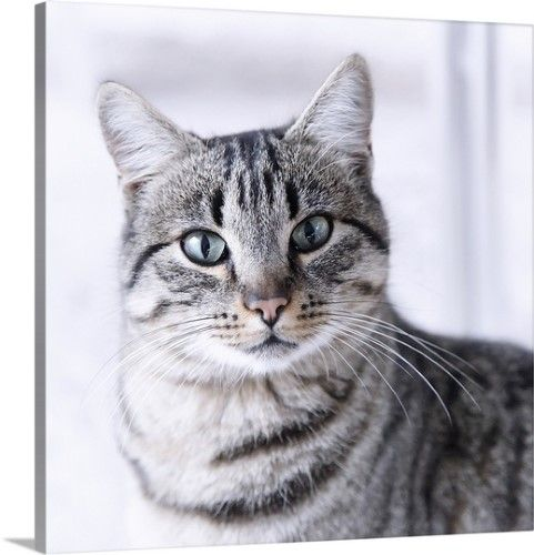 Solid Faced Canvas Print Wall Art Print Entitled Tabby Gray Cat