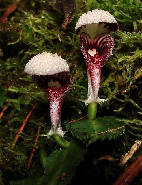 Corybas species orchid---3rd of 4 photos by Hesperia2007, via Flickr