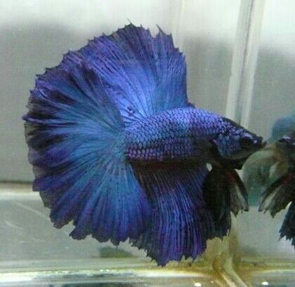 808 Full moon blue green DT male betta