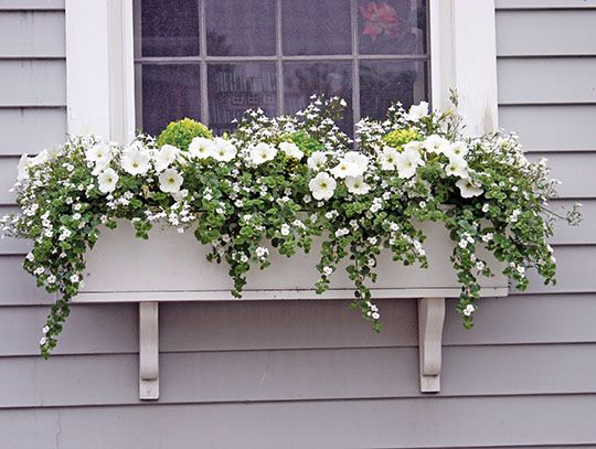This box is a simple mix of whites and greens. White petunias, Sutera and Lobelia are almost covering the three dwarf boxwood plants