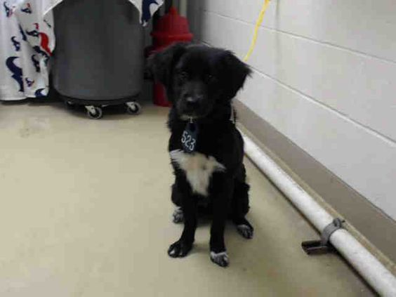 This DOG - ID#A455329 I am a male, black and white Border Collie. The shelter staff think I am about 1 year old. I have been at the shelter since Mar 24, 2016. This information was refreshed 51 minutes ago and may not represent all of the animals at the Harris County Public Health and Environmental Services.