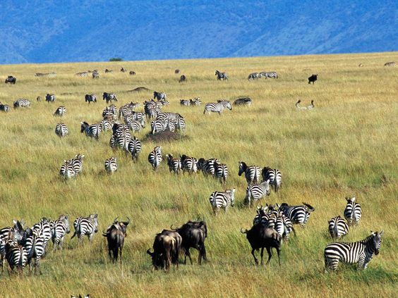 What type of Plants do Zebras, Wilder-beasts, and Giarffes eat?
