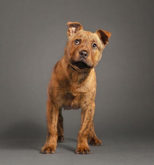 American Staffordshire Terrier Chow Chow Mixed Short Coat In