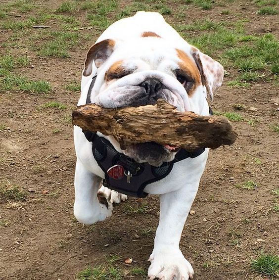 This dog is determined to take his souvenir home! - Devonian Harbour Dog Park - Vancouver, BC - Angus Off-Leash #dogs #puppies #cutedogs #bulldogs #dogparks #angusoffleash: