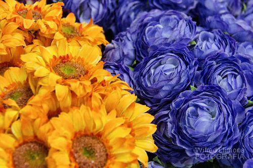 Fotografías para decorar. Grupo flores amarillas y azules de Wifred Llimona. http://www.lallimona.com/foto/flora/