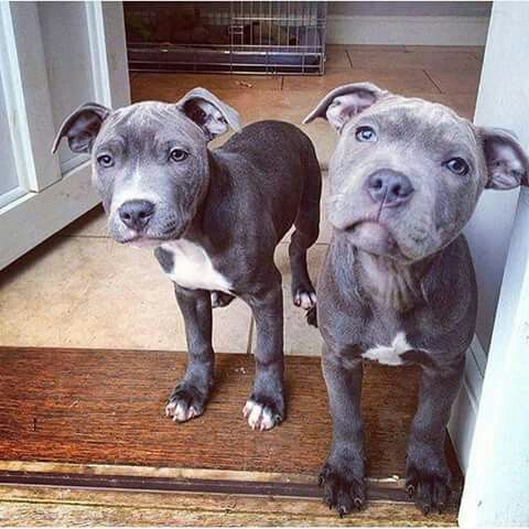 10 15 Pm Emelyjette Pitbull Cute Animals Dogs Puppies Dog