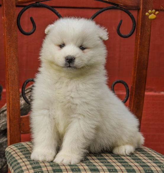 Sammy Samoyed Puppy For Sale In Lancaster Pa Lancaster