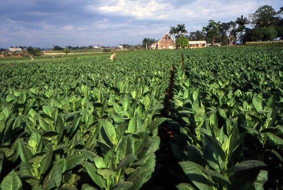 Tobacco field cuba1 - Cuba – Wikipédia, a enciclopédia livre > Plantação de tabaco em Pinar del Río.